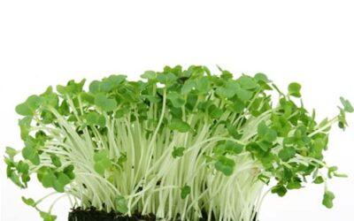 Foodtrend Microgreens